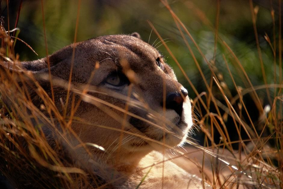 Punta Arenas, Magallanes, Chile: Cougars have powerful legs and can leap as high as fifteen feet... [Photo of the day - July 2013]