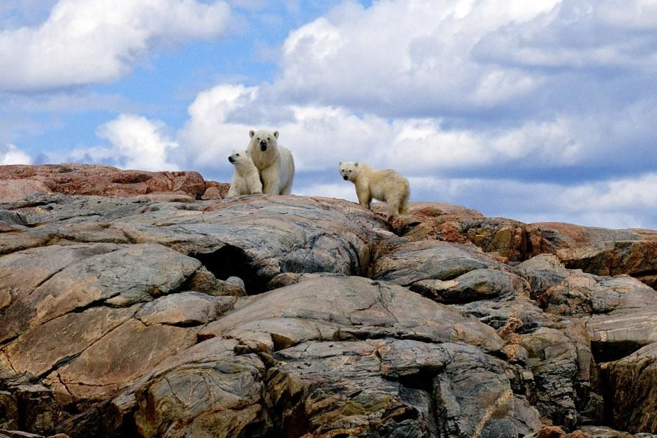 Canada: A polar bear mom and her cubs. This image is from Ice Bear. [Photo of the day - 七月 2013]