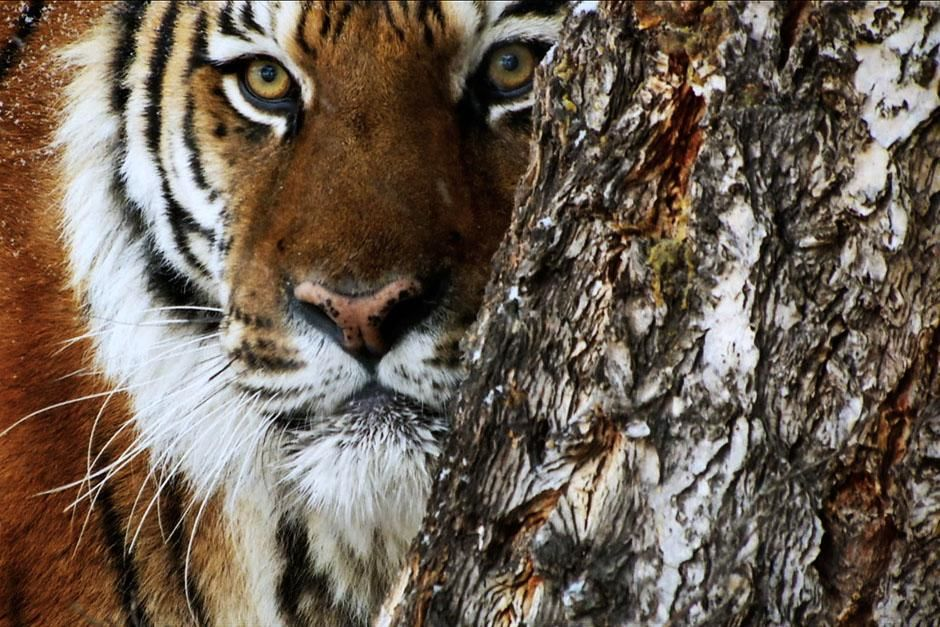 Asia: A tiger peeks out from behind a tree. This image is from 20 Animals That Can Kill You. [Photo of the day - 七月 2013]