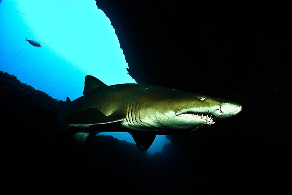 South Africa: High contrast shot of ragged tooth shark. This image is from Ragged Tooth, [Photo of the day - August 2013]