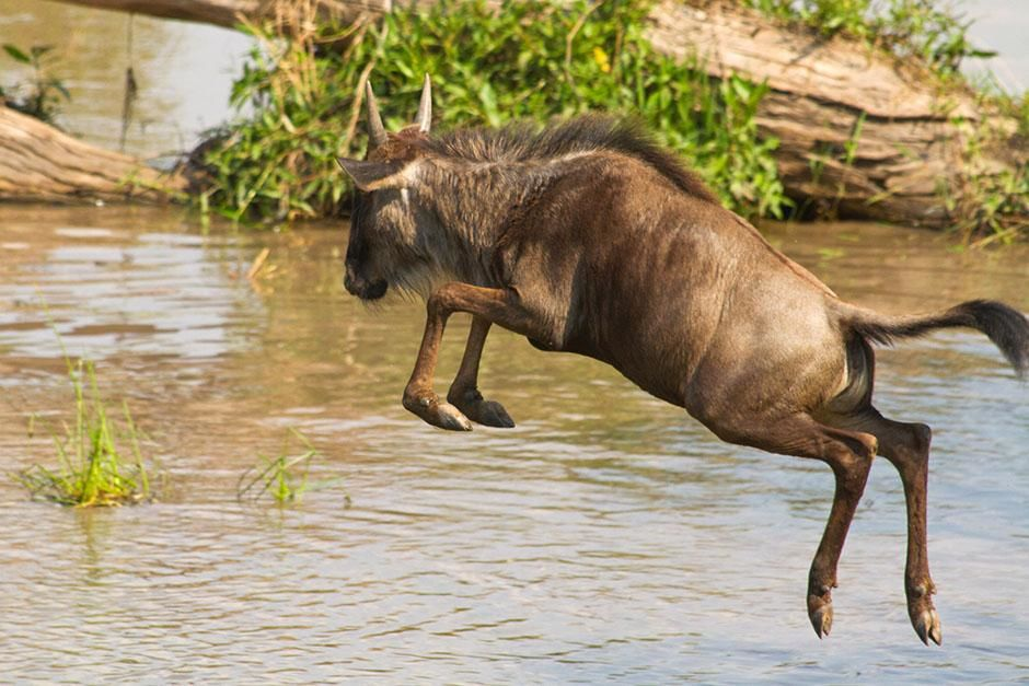 Africa: Wildebeest calf jumping into the river. This image is from Blood River. [Photo of the day - August 2013]