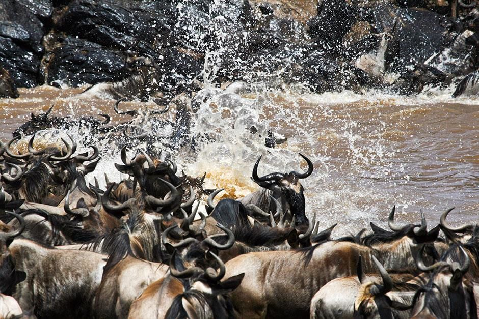 Africa: Close up of wildebeest crossing river, mid river, large splash of water. This image is fr... [Photo of the day - August 2013]