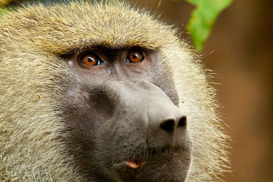 Lake Manyara, Tanzania: A baboon looks towards the sky. Baboons eat more meat than any other... [Photo of the day - اگوست 2013]