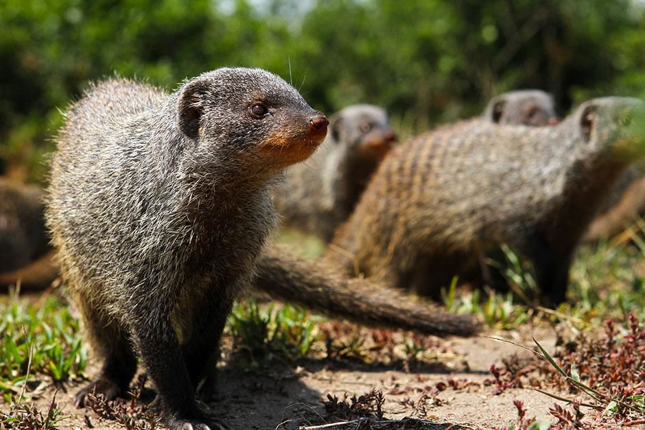 Queen Elizabeth National Park, Uganda: Banded mongooses are highly social animals that live in gr... [عکس روز - اگوست 2013]