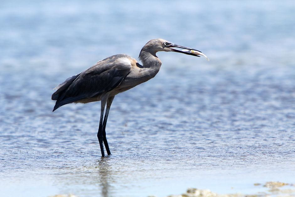 Laguna Madre, Texas, USA: A reddish egret wading with a fish in its beak. This image is from Secr... [عکس روز - اگوست 2013]