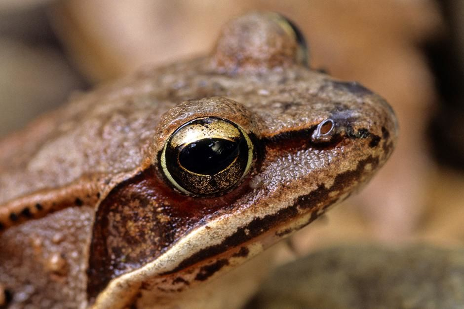 Ottawa, Canada: A wood frog looks on (Rana sylvatica). This image is from Ultimate Animal Countdown. [Photo of the day - 八月 2013]