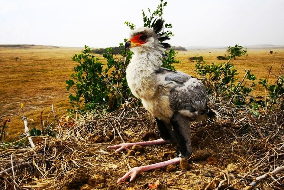 Soysambu Conservancy, Kenya: A secretary bird chick waits for its parents to return with a meal. ... [Photo of the day - September 2013]