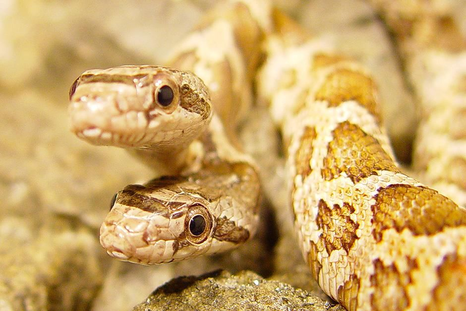 USA: Extreme close-up of Thelma and Louise, a two-headed snake. This image is from World's Weirdest. [Photo of the day - سپتامبر 2013]