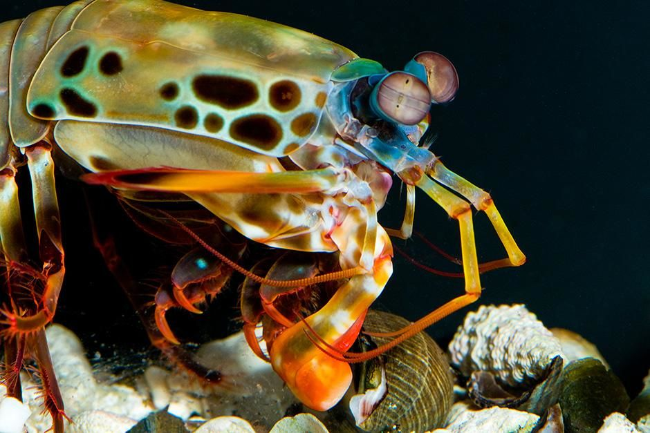 Berkeley, California, USA: A female peacock mantis shrimp (Odontodactylus scyllarus) uses a... [Photo of the day - September 2013]