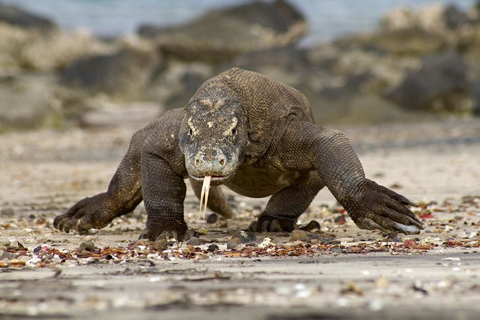 Indonesia: A Komodo dragon walking straight towards the camera. This image is from Venom Island. [Photo of the day - سپتامبر 2013]