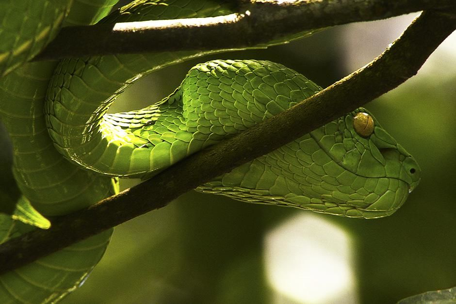 Indonesia: A green tree pit viper on a branch. This image is from Venom Island. [Photo of the day - September 2013]