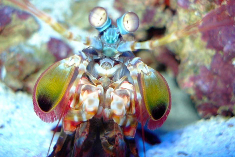 The colourful mantis shrimp in the aquarium. This image is from World's Weirdest. [Photo of the day - September 2013]