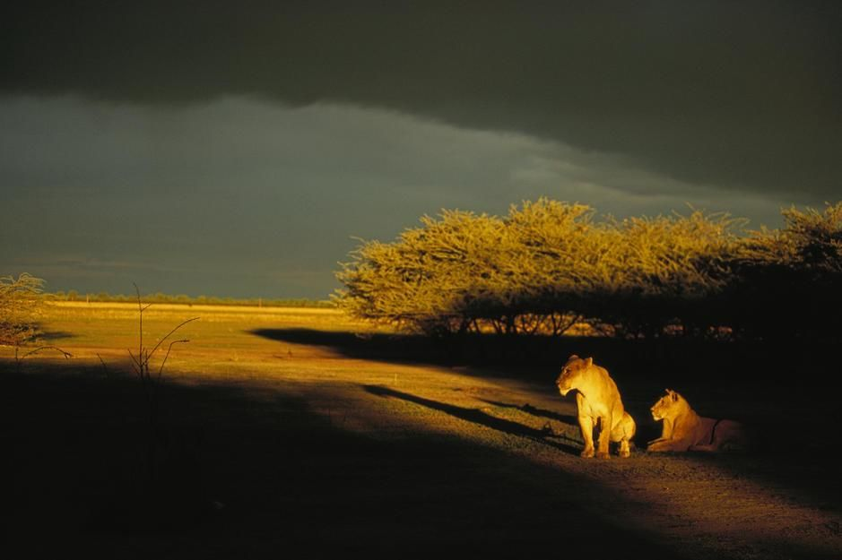 Two African lionesses bask in the late afternoon light in Savuti. Botswana. [Fotografija dneva - julij 2011]