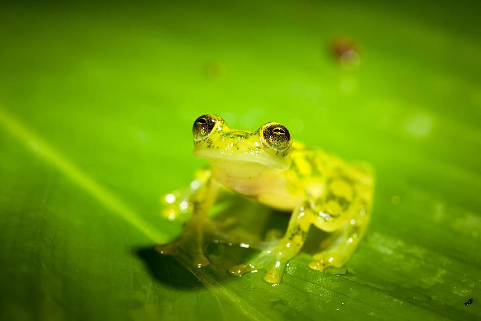 Costa Rican Amphibian Research Centre, Siquirres, Costa Rica: An adult reticulated glass frog... [Photo of the day - September 2013]