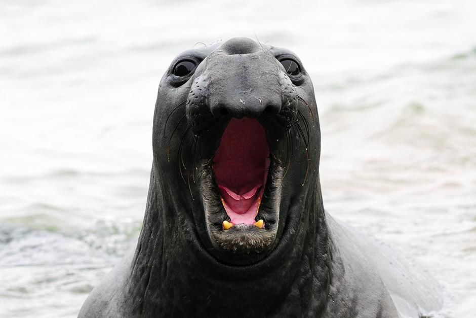 A male elephant seal showing aggression. This image is from World's Weirdest. [Photo of the day - September 2013]