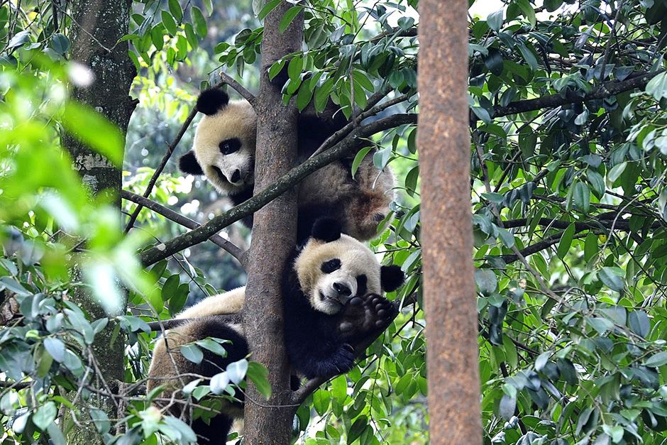 Bifengxia Panda Breeding and Research Centre, Sichuan Province, China: Two pandas are relaxing in... [Photo of the day - October 2013]