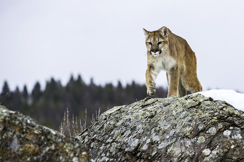 Kalispell, Montana, USA: Kali, a young adult female mountain lion stalks across the rocks. This... [Photo of the day - اکتوبر 2013]
