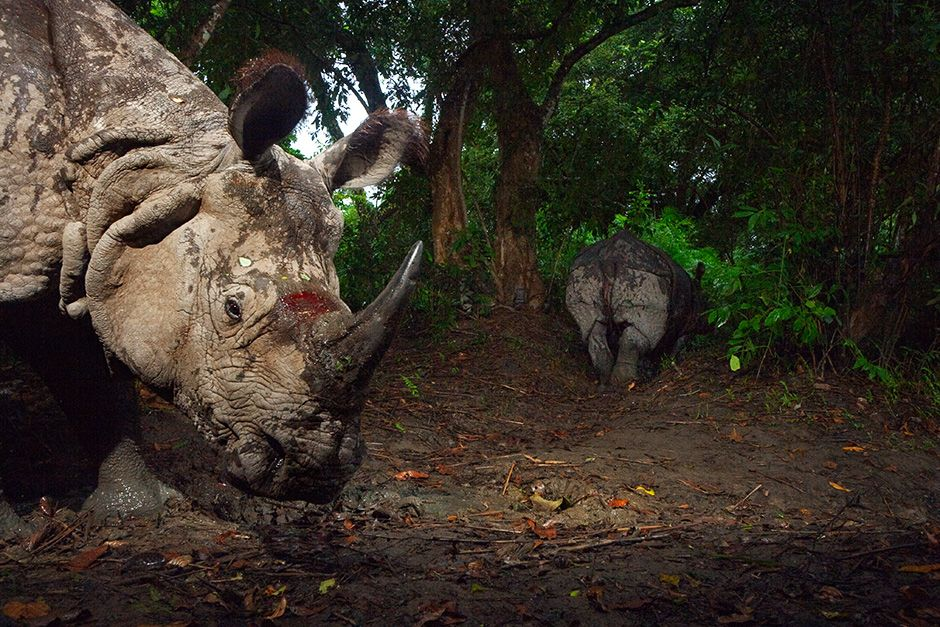 Kaziranga National Park, India: A camera trap captures a bloodied Indian one-horned rhino. This i... [Photo of the day - October 2013]