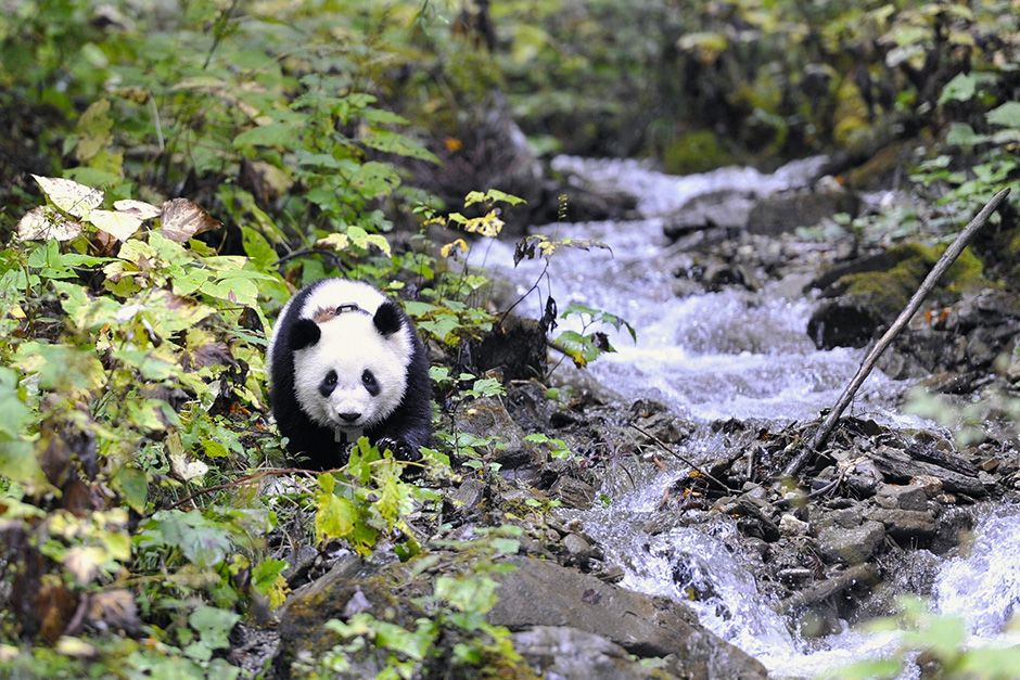 Deng Sheng Valley, Wolong nature reserve, Sichuan Province, China: One year old Xiao Xi Xi at Den... [Photo of the day - October 2013]