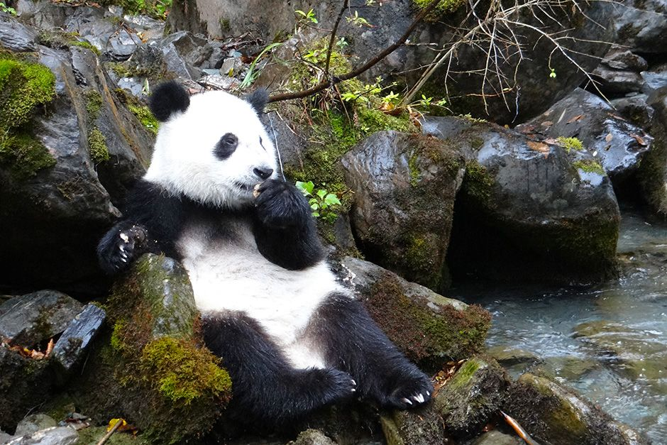 Deng Sheng Valley, Wolong nature reserve, Sichuan Province, China: Xiao Xi Xi (1 year old) panda... [Photo of the day - اکتوبر 2013]