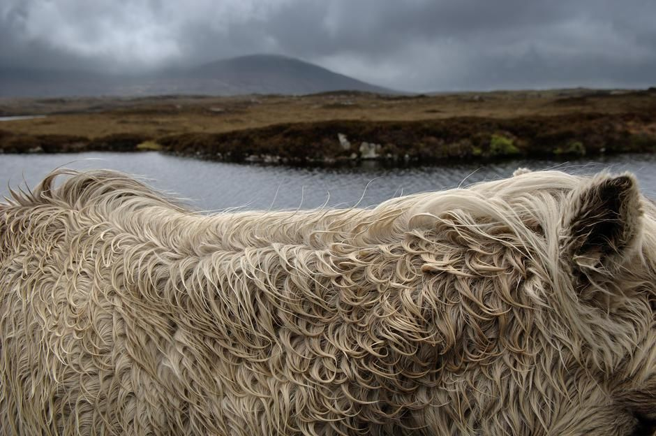 Gros plan de la robe d'un poney Shetland de l'île de South Uist, Écosse. Royaume-Uni. [Photo of the day - décembre 2011]