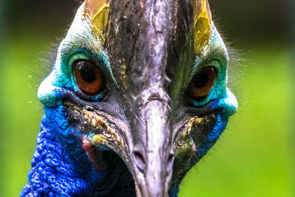 Unknown: The cassowary is a large, flightless bird most closely related to the emu.  Cassowary's... [Photo of the day - October 2013]