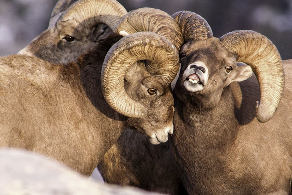 Dubois, Wyoming, USA: A bachelor group of bighorn rams begin pre-rut behavior. This image is... [Photo of the day - اکتوبر 2013]