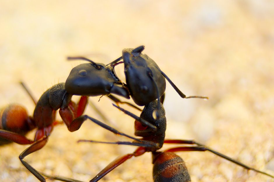 Two ants are captured fighting. This image is from Animal Fight Club. [Photo of the day - November 2013]