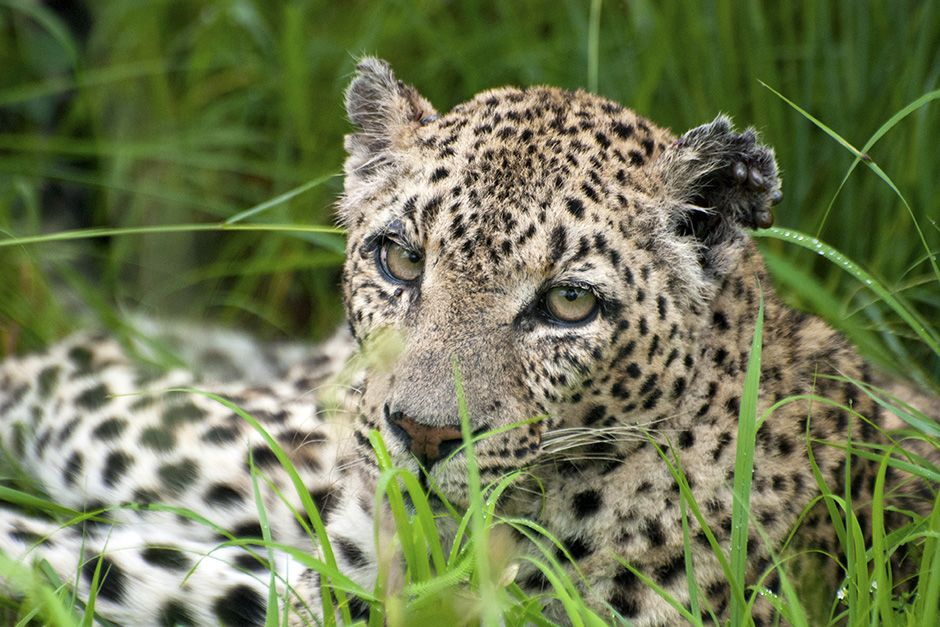 Sabi Sands Game Reserve, South Africa: Leopard captured laying about in the green grass. This ima... [Photo of the day - November 2013]