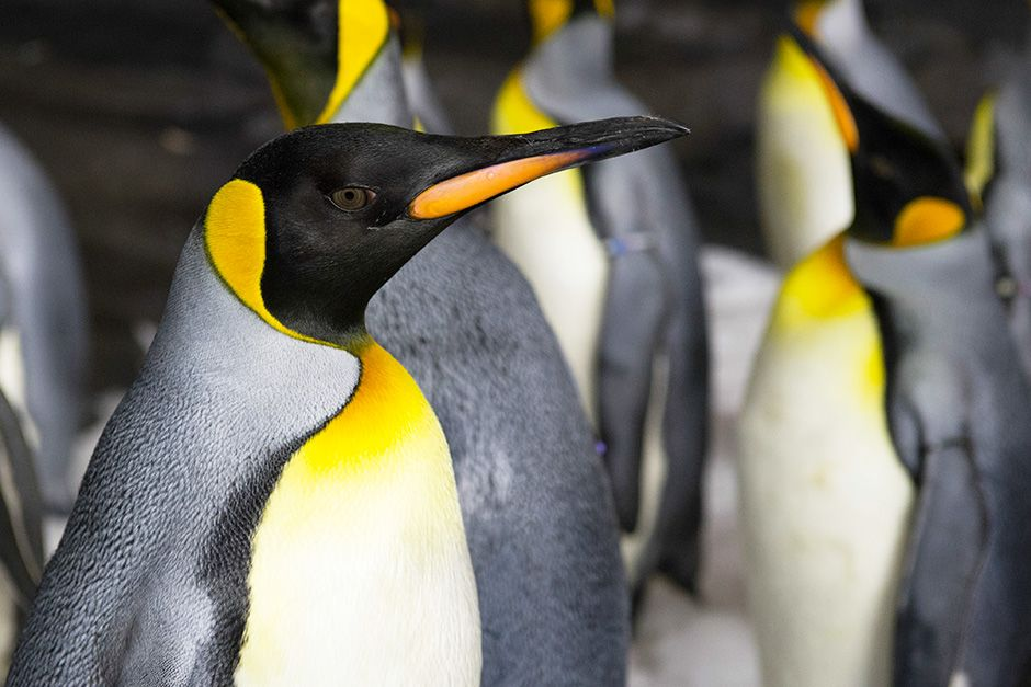 SeaWorld, Orlando, Florida, USA: Close up of penguins in the enclosure. This image is from Buildi... [Photo of the day - November 2013]