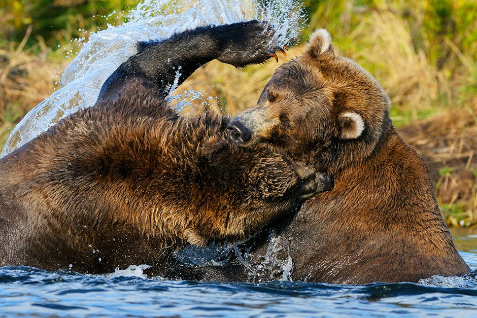 Katmai National Park and Preserve, Alaska, USA: Two young grizzly bears play fighting in a salmon... [Photo of the day - November 2013]