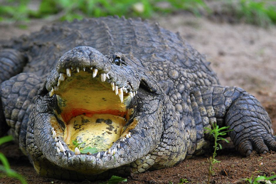 Sabi Sands Game Reserve, South Africa: Crocodile is captured with its mouth agape. This image is... [Photo of the day - نوامبر 2013]
