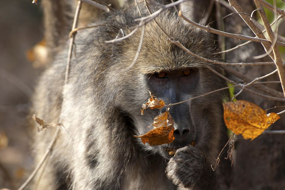 Moremi Game Reserve, Botswana: Steely-eyed baboon eating behind a bush. This image is from... [Photo of the day - November 2013]