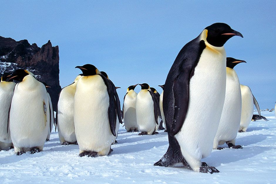 Cape Washington, Antarctica: A group of adult emperor penguins stand together on the ice in Cape... [Photo of the day - November 2013]