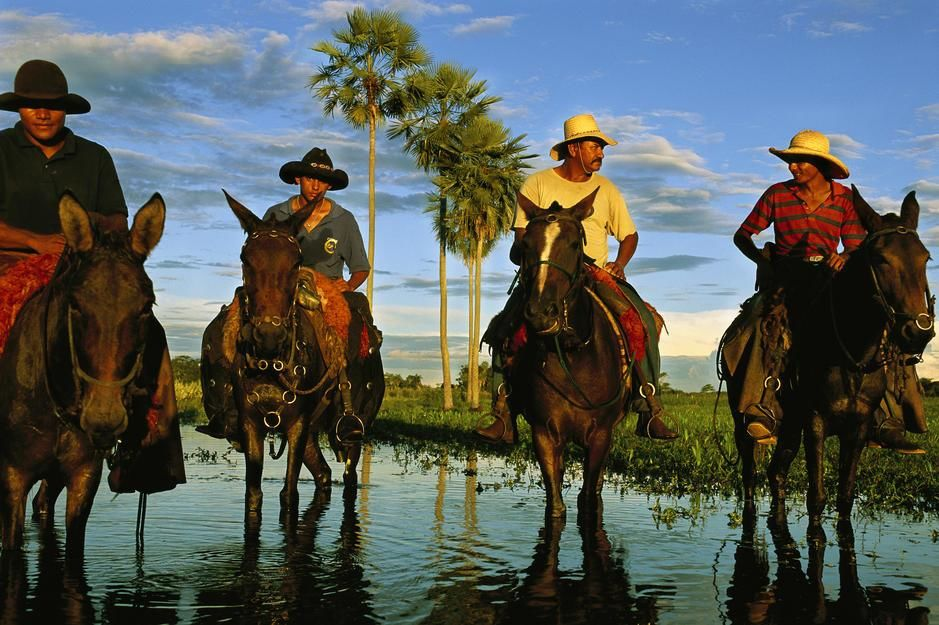 Cowhands on mule and horseback during Pantanal's flood season. [Fotografija dneva - december 2011]