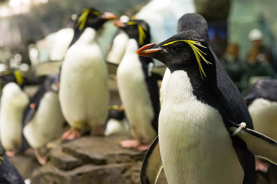 SeaWorld, Orlando, Florida, USA: Close-up of rockhopper penguins in an enclosure. This image is... [Photo of the day - November 2013]