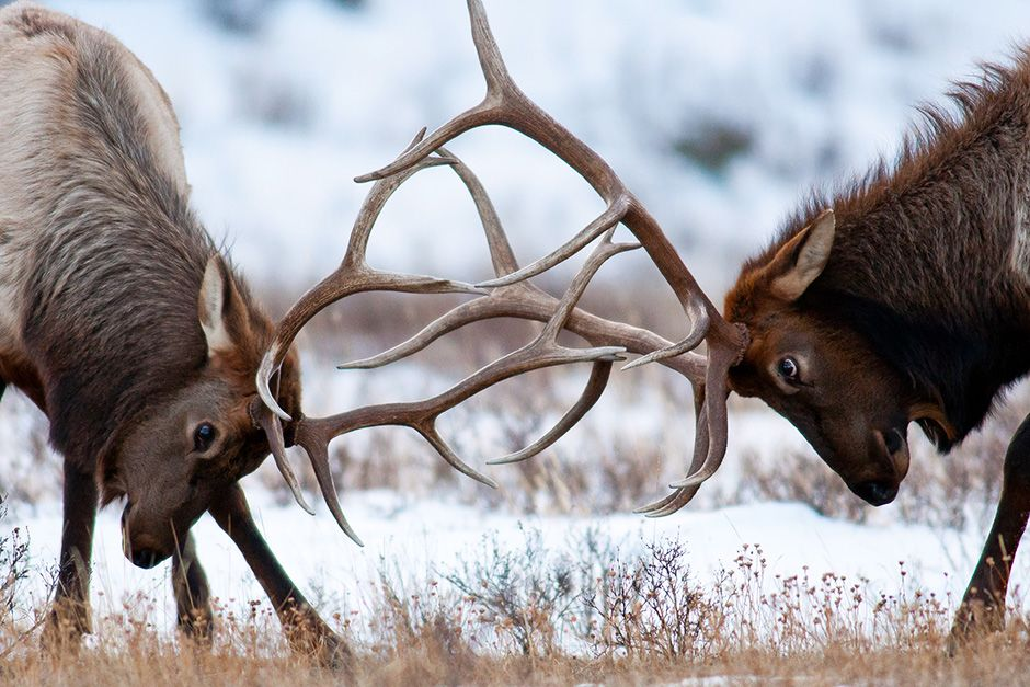 Two elks are seen locking antlers. This image is from Animal Fight Club. [Photo of the day - November 2013]