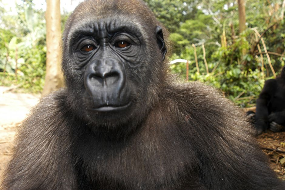 Bwindi Impenetrable National Park, Uganda:  Close up of a gorilla. This image is from Caught In T... [عکس روز - دسامبر 2013]
