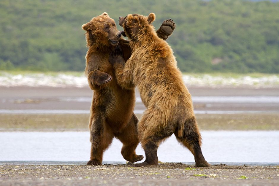 Peninsula Borough County, Alaska, USA: Two grizzlies are fighting.  This image is from Animal Fig... [Photo of the day - December, 2013]