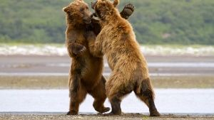 Peninsula Borough County, Alaska, USA: Two grizzlies are fighting.  This image is from Animal Fig... Dagens billede -  8 december 2013