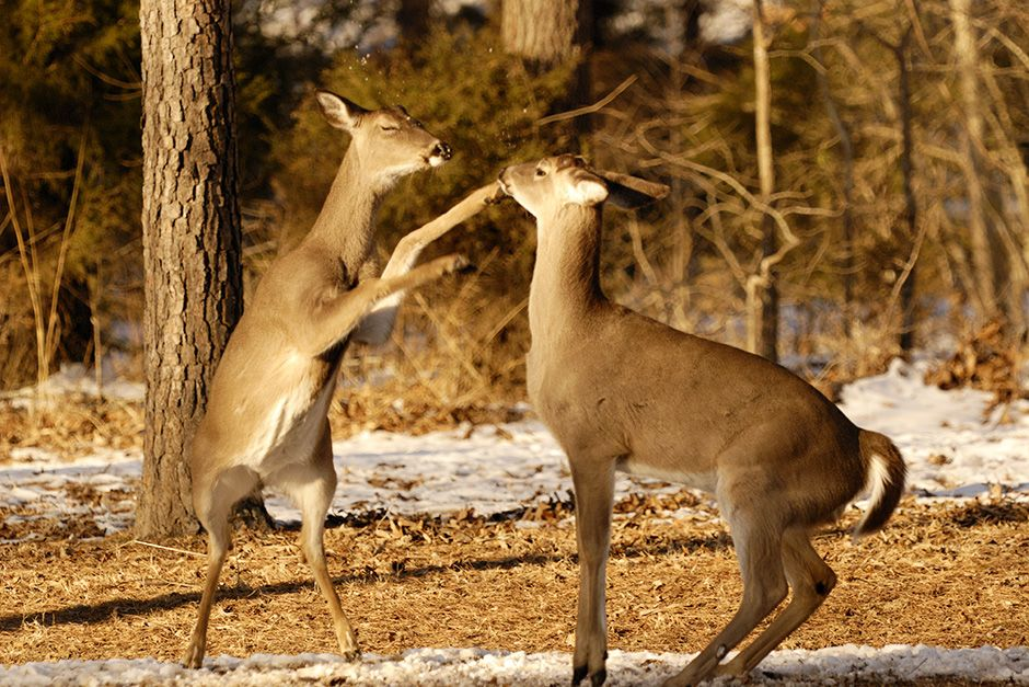 Two whitetail Does fighting.  This image is from Animal Fight Club. [Photo of the day - December 2013]