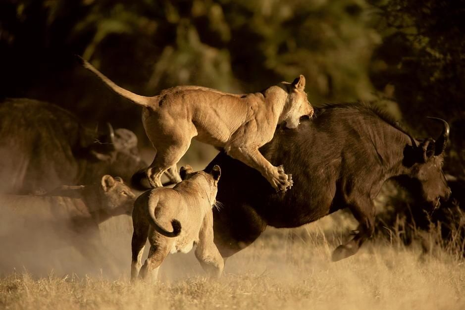 A lioness launches onto the back of a Cape Buffalo, Okavango Delta. [Fotografija dneva - december 2011]