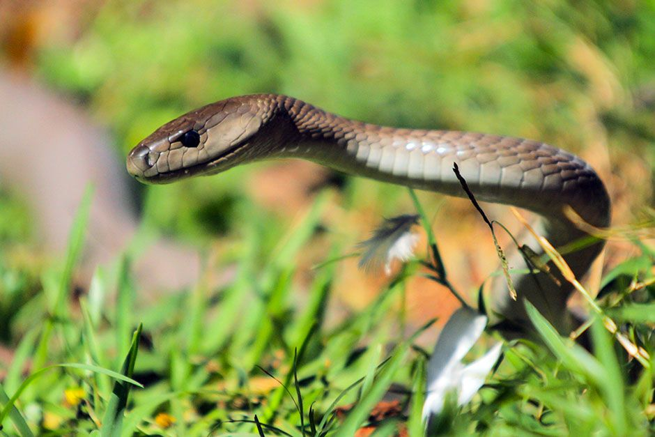 South Africa: Mamba in the grass with some pigeon feathers. This image is from Black Mamba. [Foto del día - enero 2014]