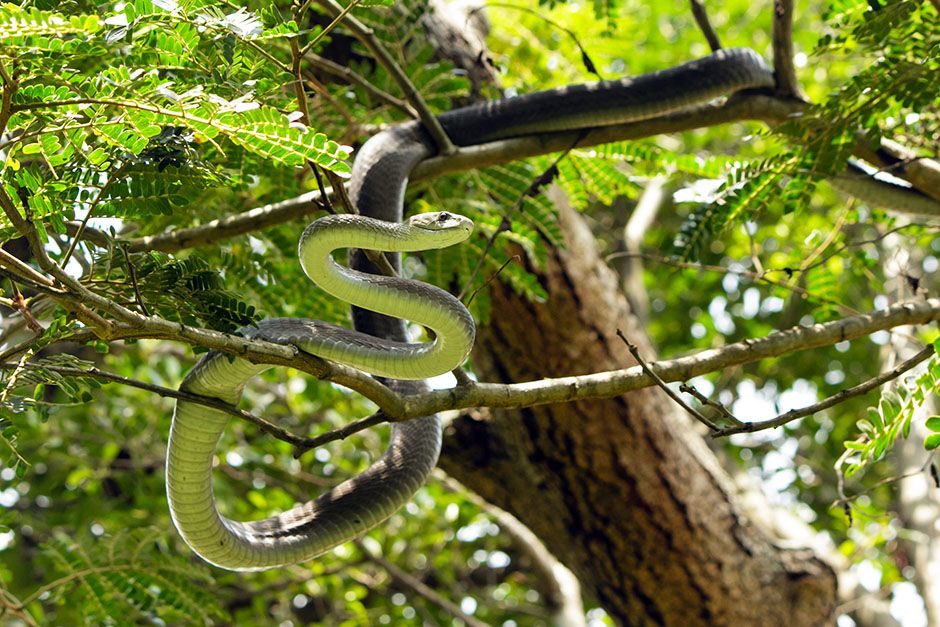 South Africa: Mamba is curled high on a tree branch. This image is from Black Mamba. [Photo of the day - January 2014]
