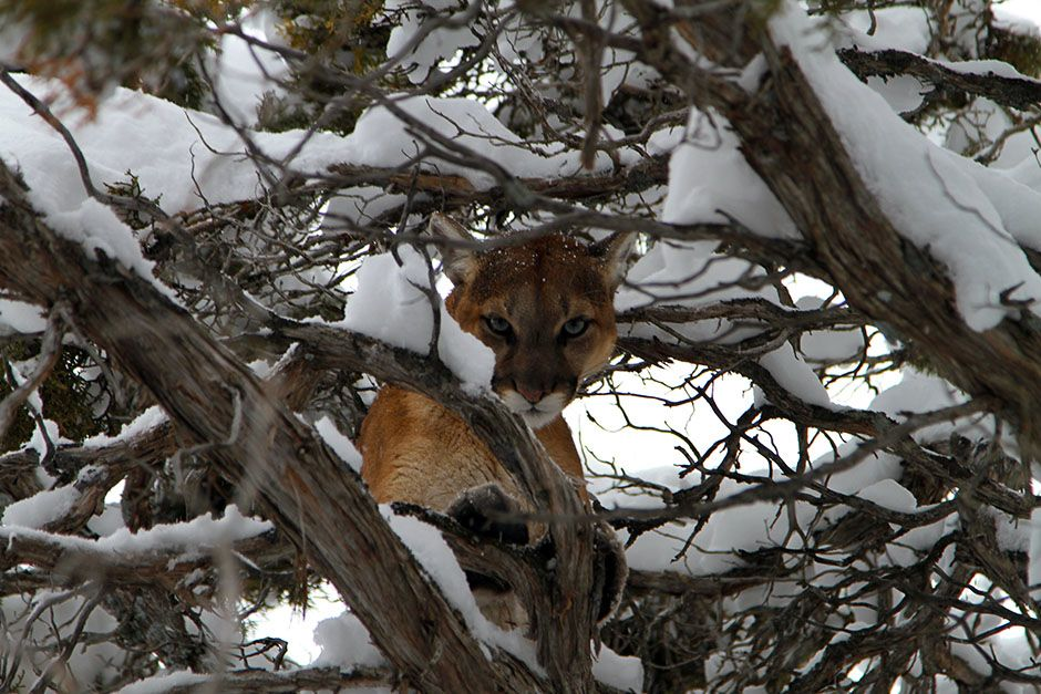 Caribou National Forest near Preston, Idaho, USA: A cougar finds safety in a tree after being cha... [Photo of the day - ژانویه 2014]