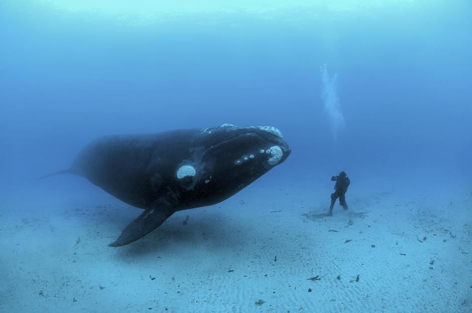 On this day in 1856 the first underwater phtoograph was taken. Here Southern Right Whales,... [Photo of the day - ژانویه 2012]