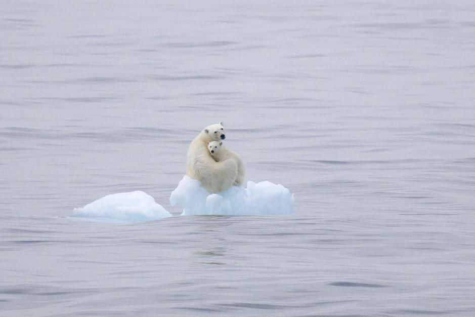 Polar Bear and cub on a flating hunk of ice, Olga Strait, Svalbard. [Dagens foto - januari 2012]