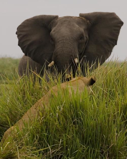 African elephant in aggressive defense posture in front of a lion in the grass, Duba Plains, Okav... [Photo of the day - januari 2012]