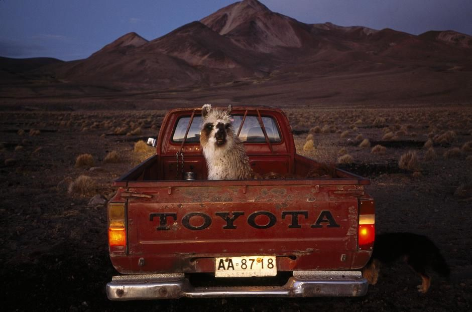 With a high desert backdrop, a llama sits in the back of a red pickup truck, Atacama Desert. [תמונת היום - פברואר 2011]