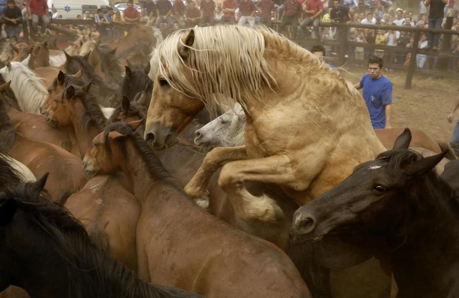 Corralled wild horses at La Rapa das Bestas festival in Vimianzo, Galicia. [Photo of the day - פברואר 2011]